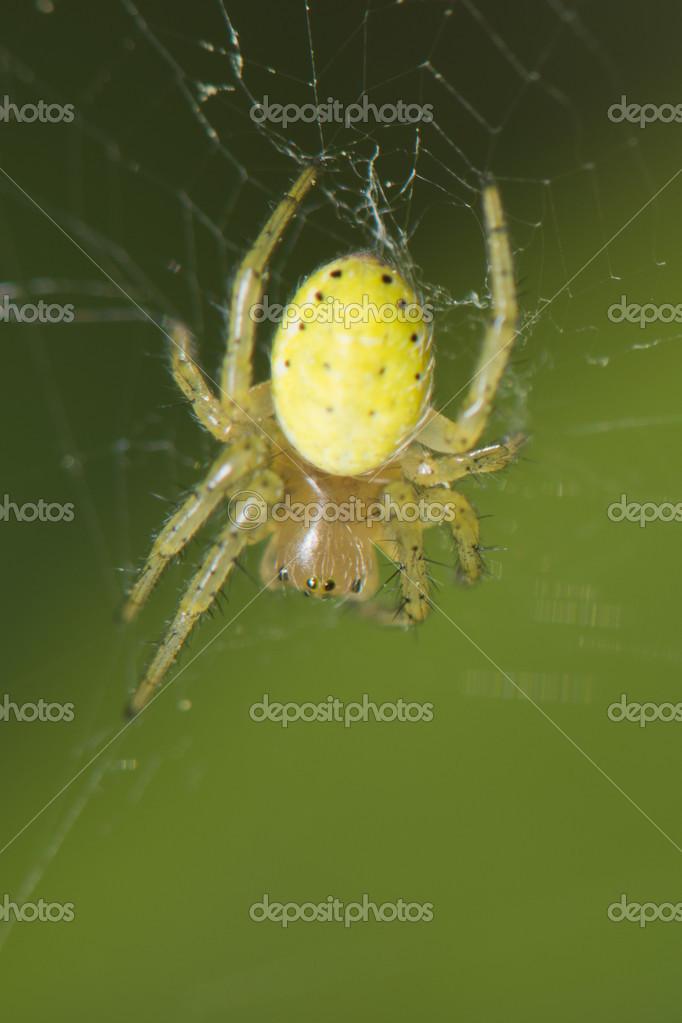 a yellow spirder hanging on its web stock photo izanbar 26468745