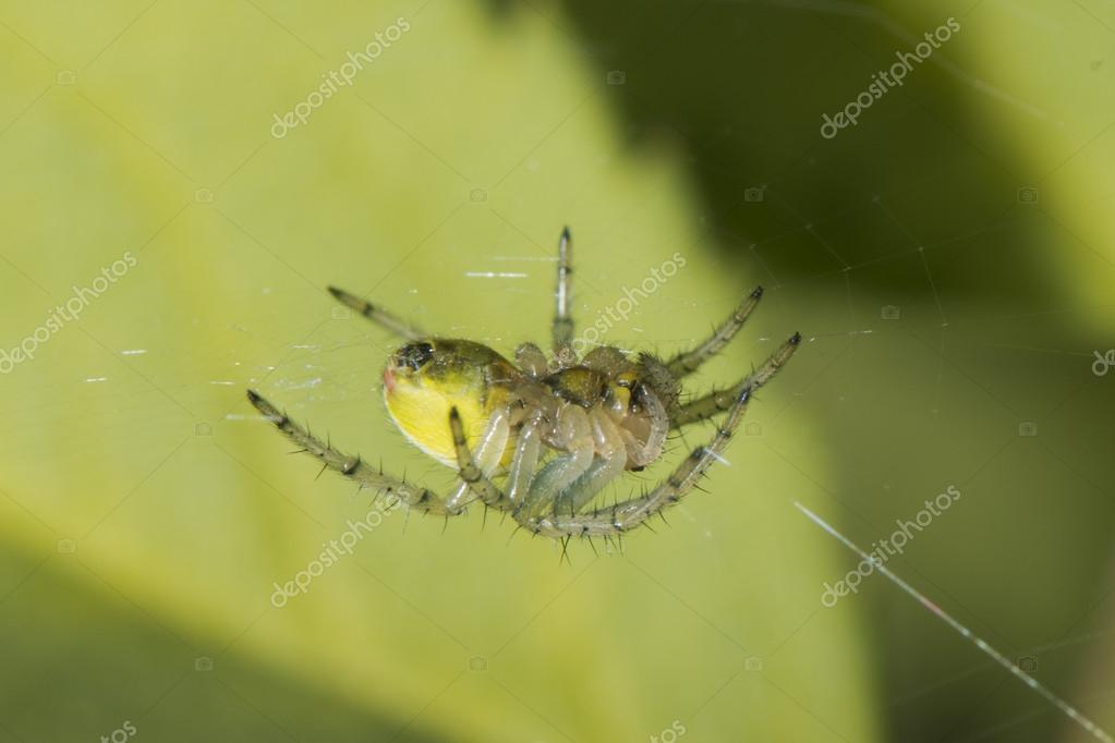 a yellow spirder hanging on its web stock photo izanbar 26468761