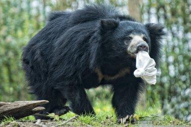 Sloth black asian bear