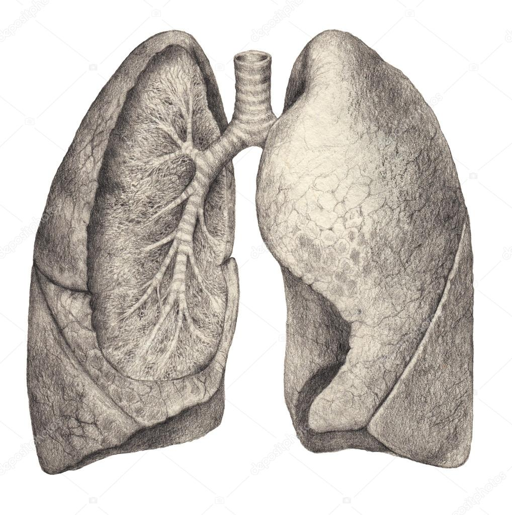 This is a graphic of Striking Human Lungs Drawing