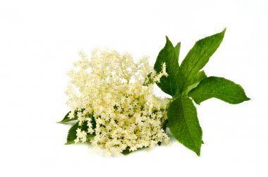 elderberry flower on white