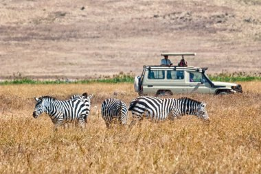Tourists wathing zebras eating