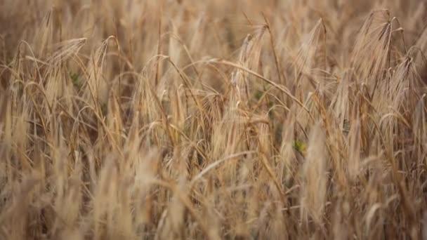 táj lövés a termesztett búza mező egy nyári este