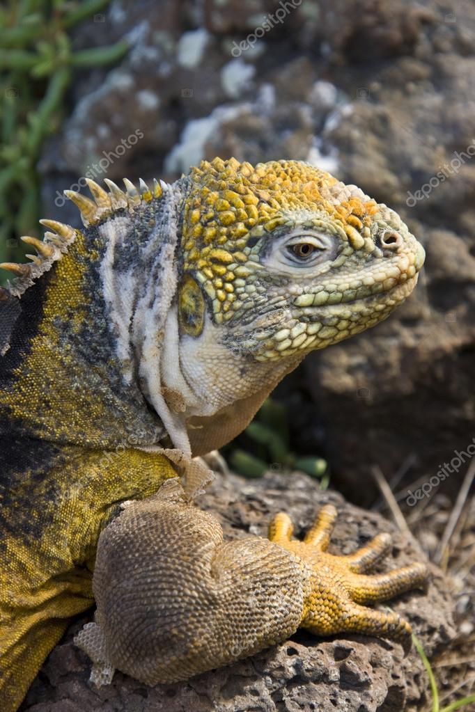Galapagos Land Iguana - Galapagos Islands