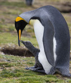 Photo King Penguin with chick - Falkland Islands