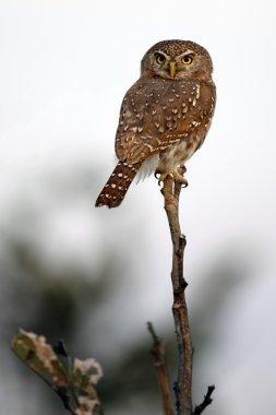 Pearl-Spotted Owlet (Glaucidium perlatum) - Botswana