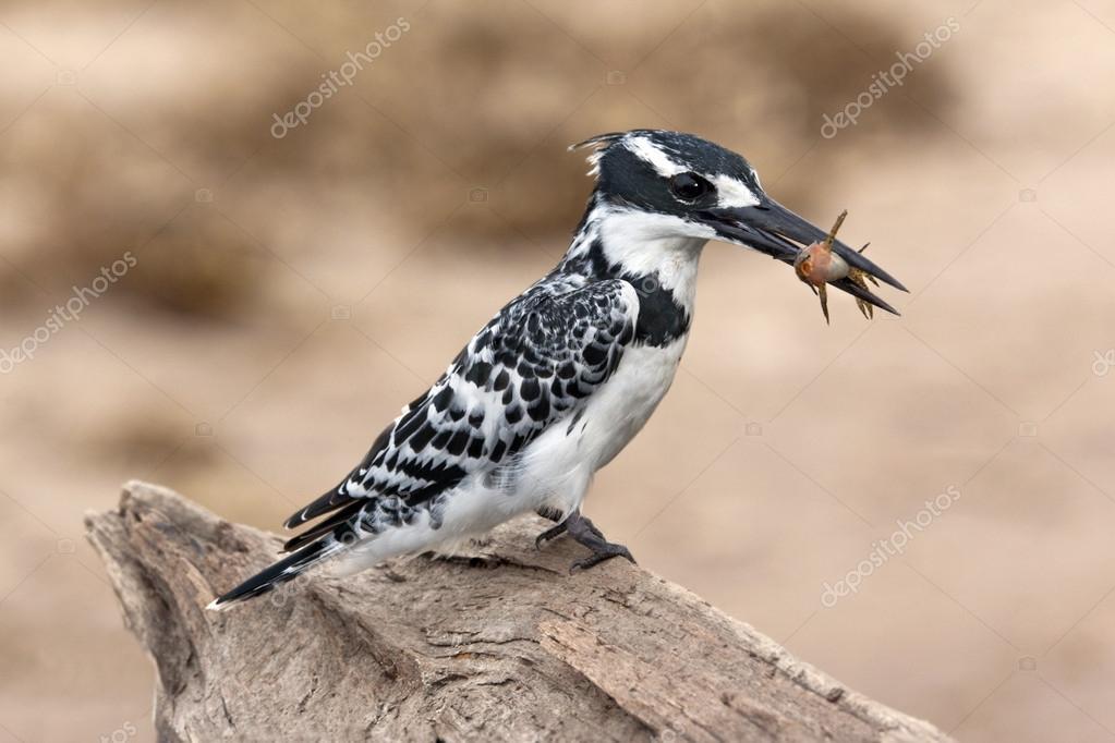 Pied Kingfisher - Botswana