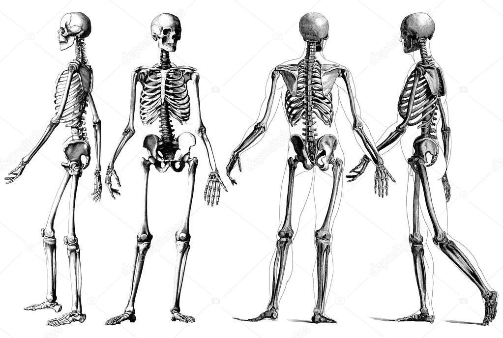 esqueleto humano — Fotos de Stock © Steve_Allen #18173083