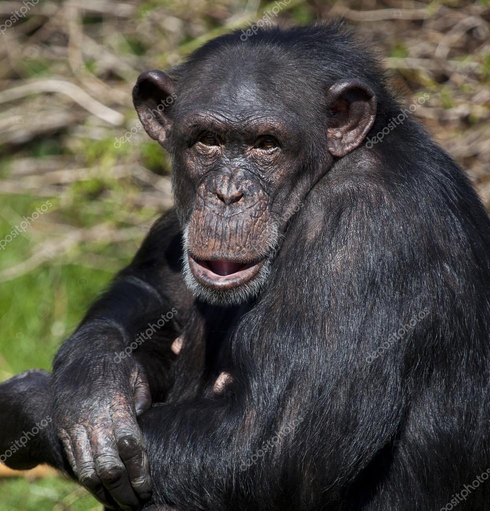 Chimpanzee - Zambia