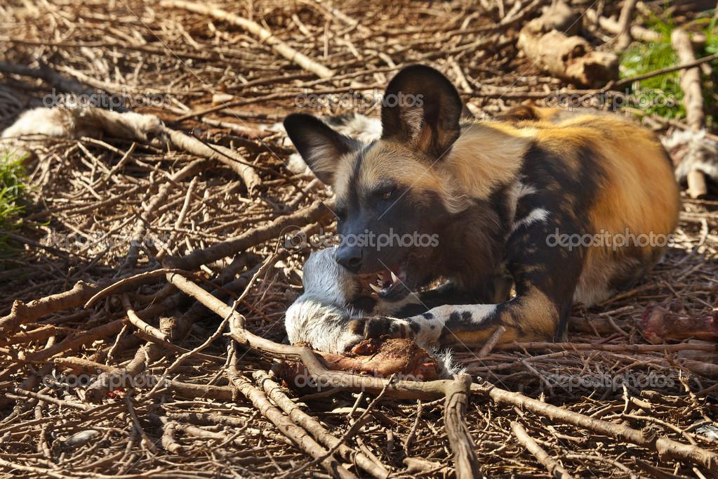 African Wild Dog - Botswana
