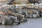 Ivóvíz - Etosha - Namíbiai zebra