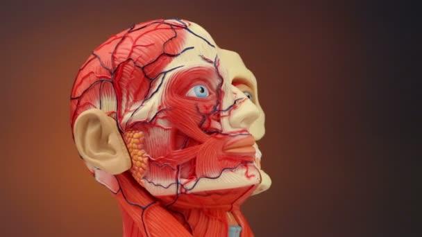 anatomie člověka - hd
