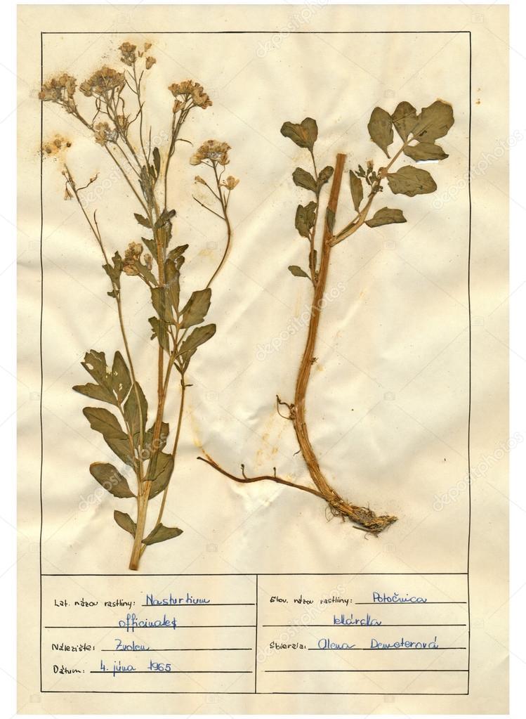 Herbarium Blätter gescannte herbarium blätter kräuter und blumen stockfoto kuco