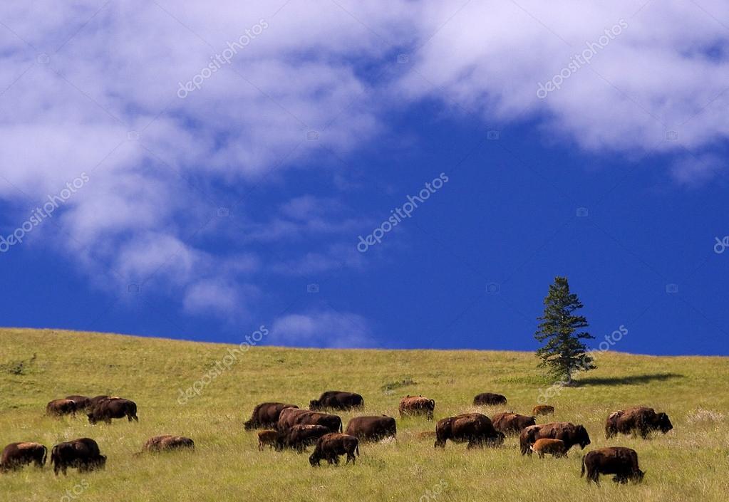 Buffalo, National Bison Range