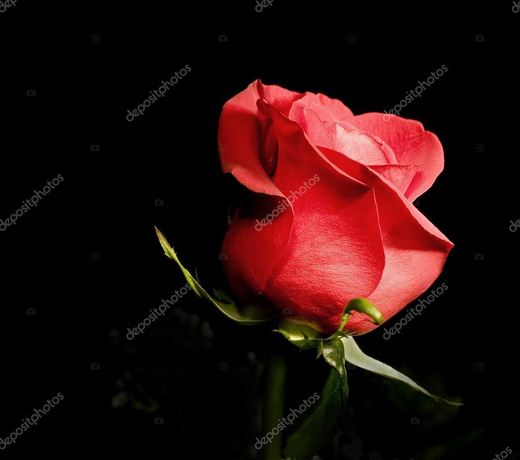 Una Rosa Rossa Foto Stock Thepoeticimage 19887009