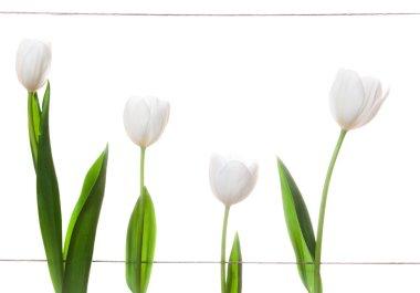 White Tulips Family
