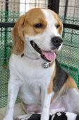 ženské beagle