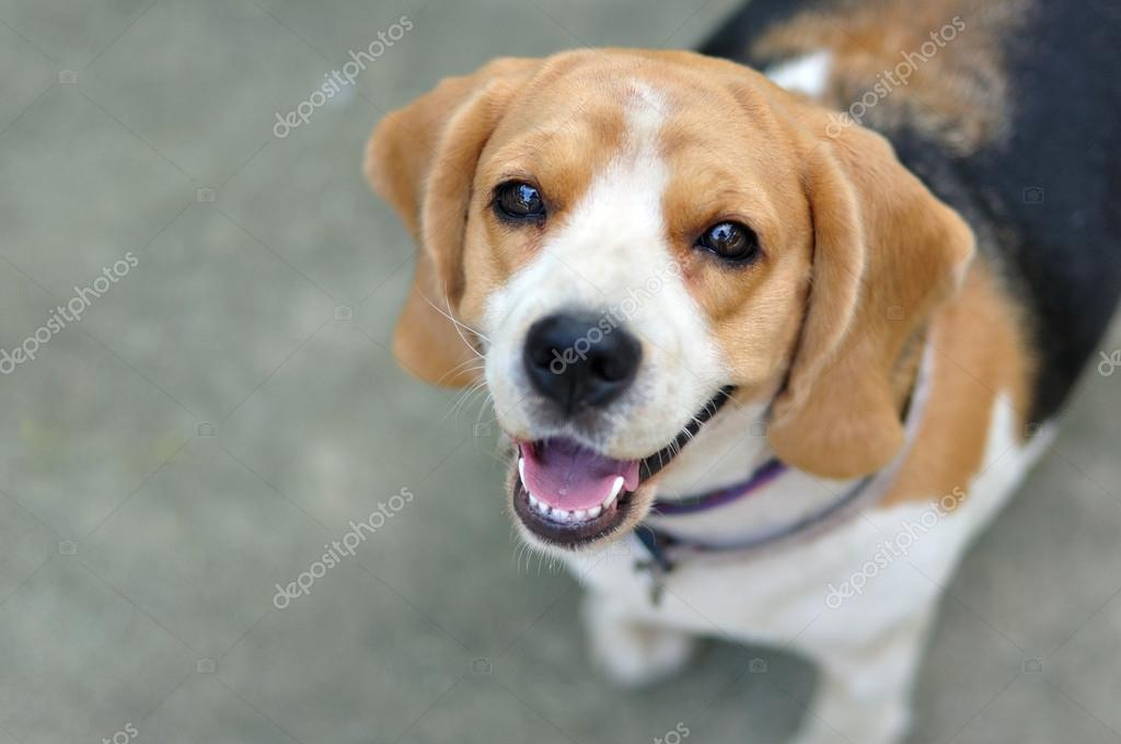 Portrait cute beagle puppy dog looking up stock photo ekarina portrait cute beagle puppy dog looking up stock photo 36547737 voltagebd Gallery