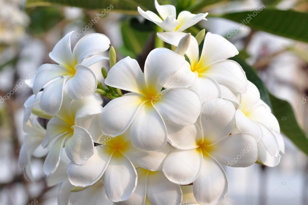 White plumeria-flowers