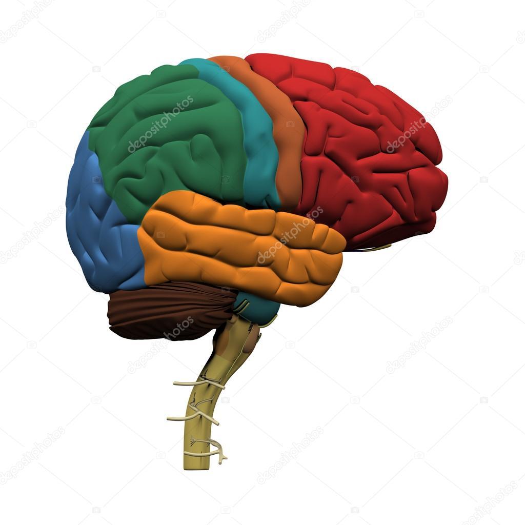 partes del cerebro humano — Fotos de Stock © decade3d #18963583