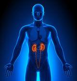 Fotografie lékařský imaging - mužské orgány - ledviny