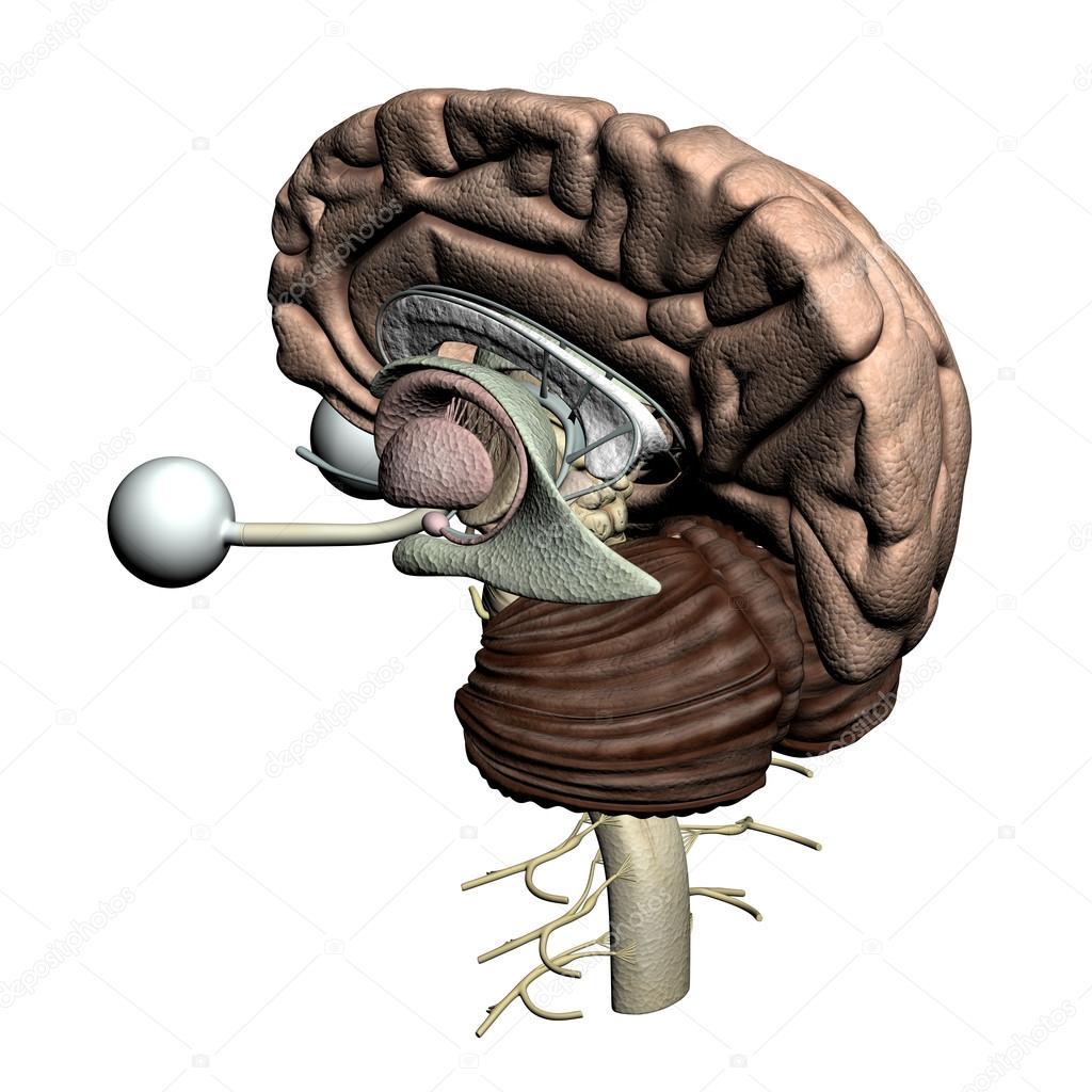partes de cerebro - vista trasera isométrica — Fotos de Stock ...