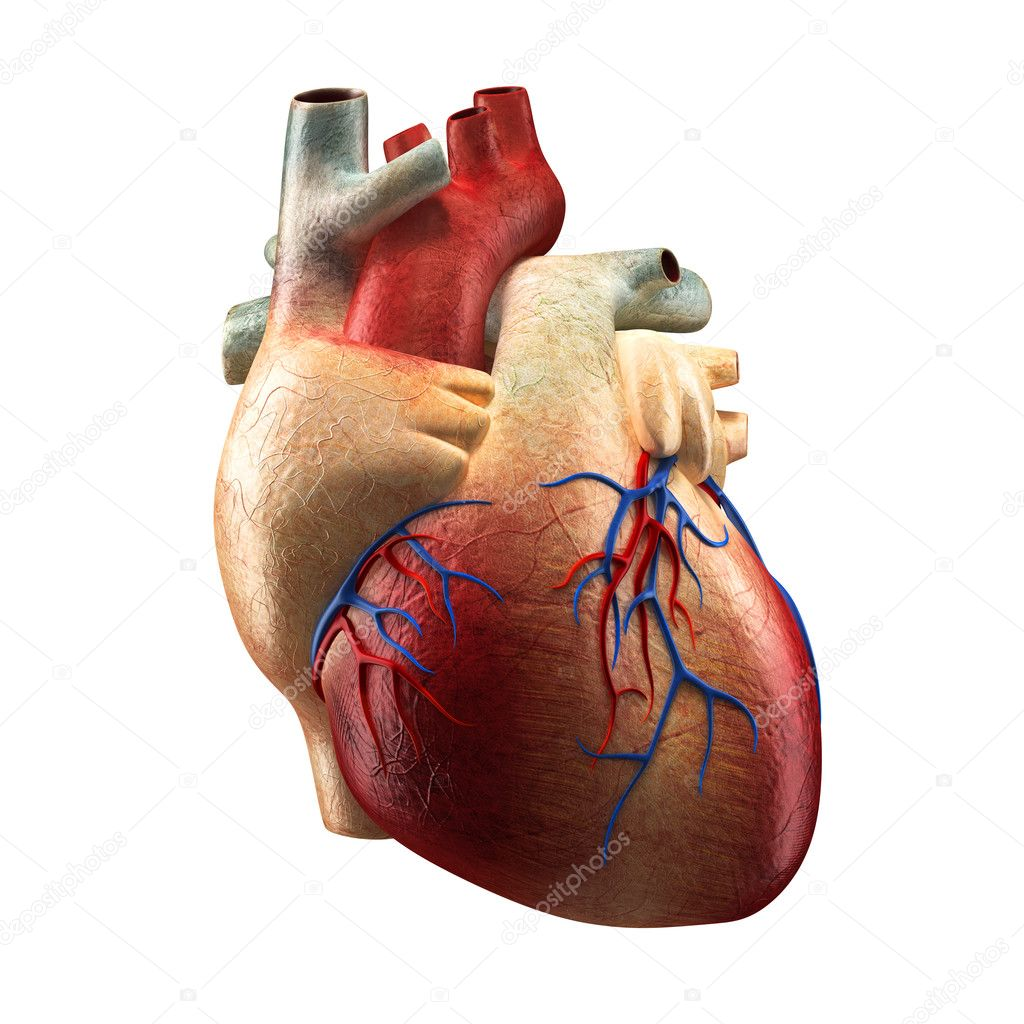 Real Heart Isolated on white - Human Anatomy model