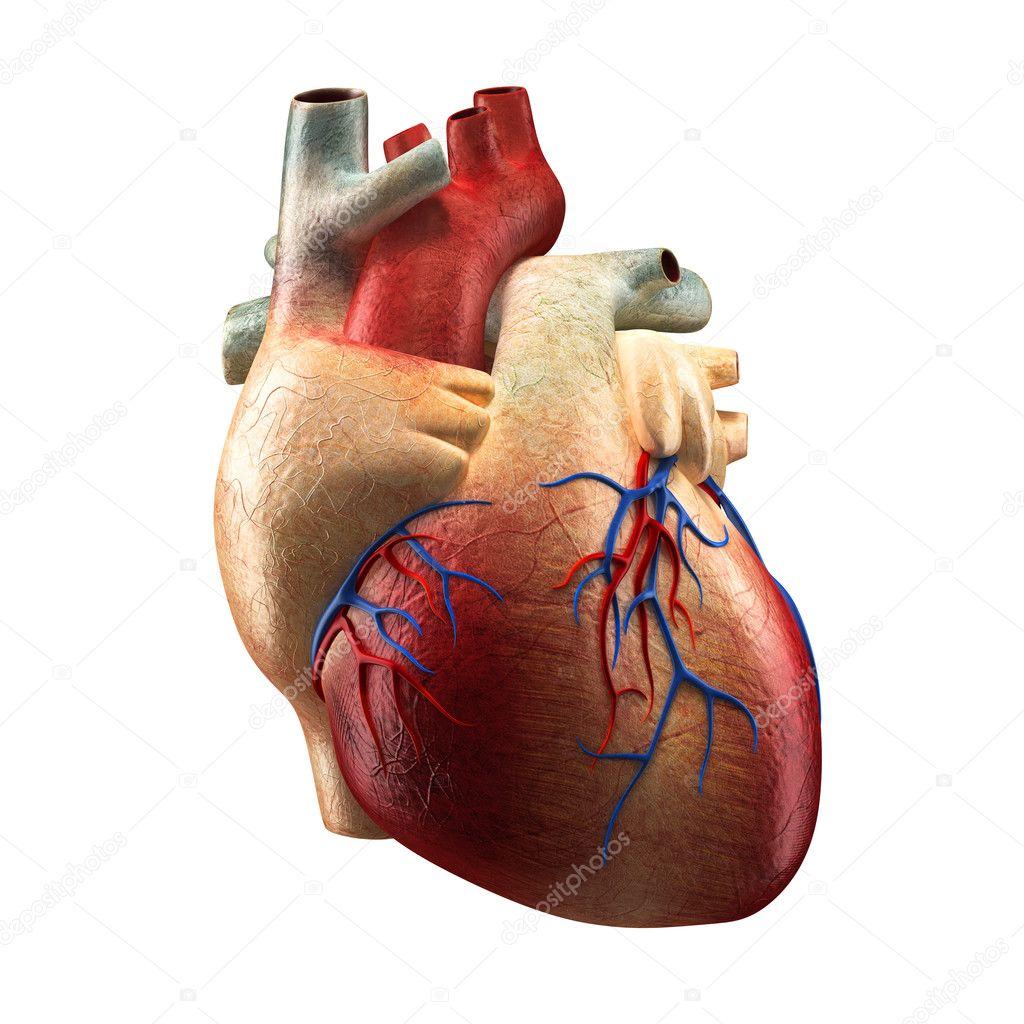 echte Herz isoliert auf weiß - Anatomie-Modell — Stockfoto ...