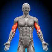 biceps - anatomie svalů