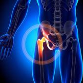 kyčelní kloub - anatomie kostí