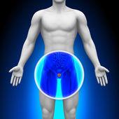lékařské x-ray skenování - prostaty