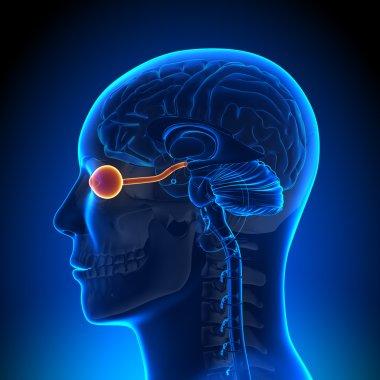 Brain Anatomy - Optical Nerve Eye