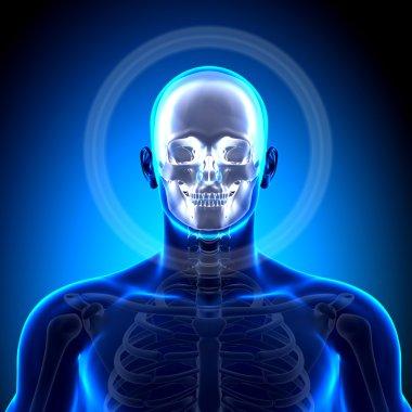 Skull Cranium - Anatomy Bones