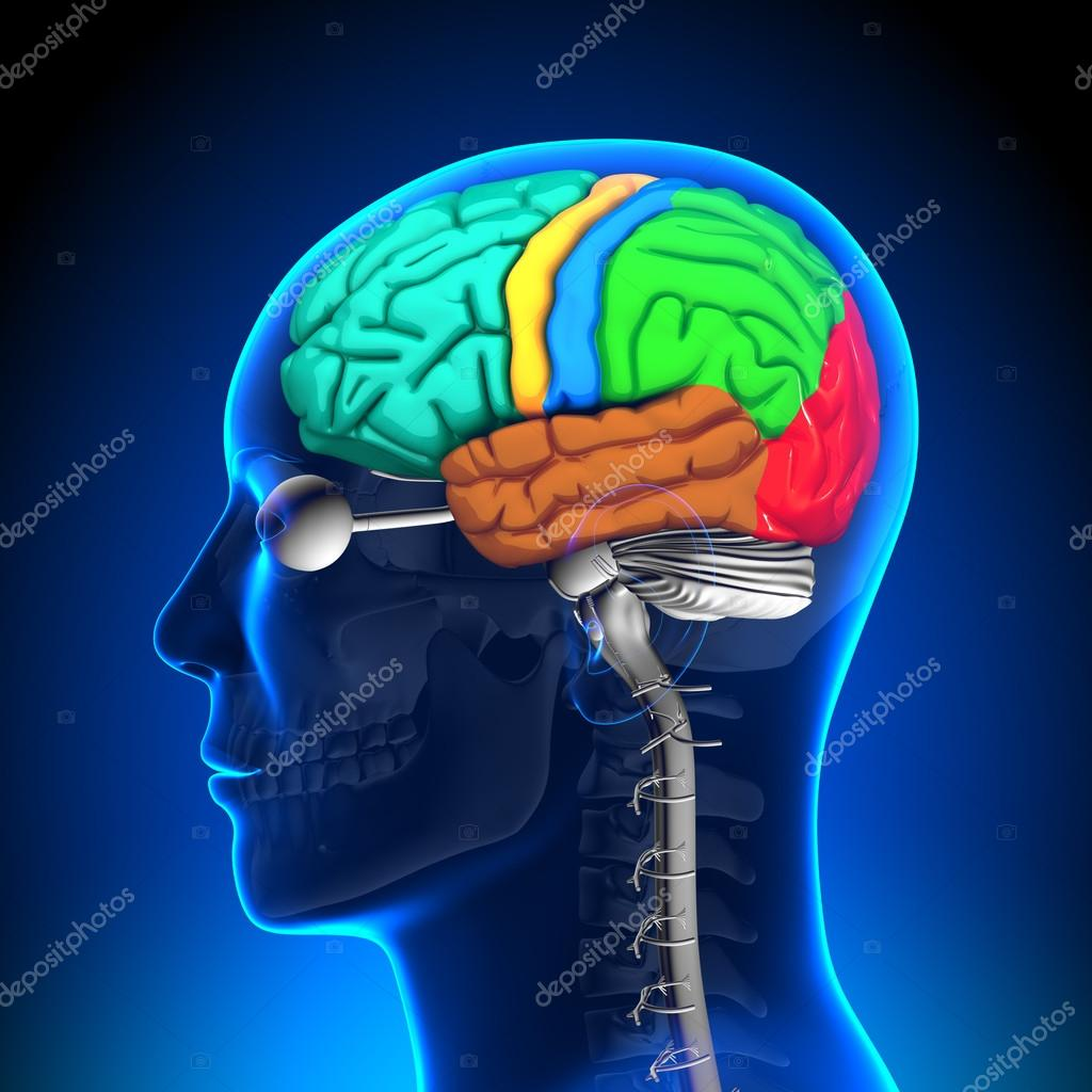 Rückenmark - Gehirn-Anatomie - Farbe — Stockfoto © decade3d #28192405