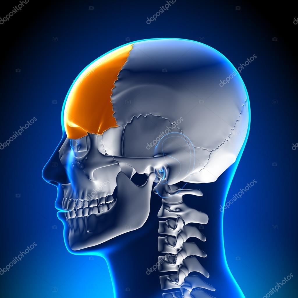 Brain Anatomy Frontal Lobe Stock Photo Decade3d 28192411