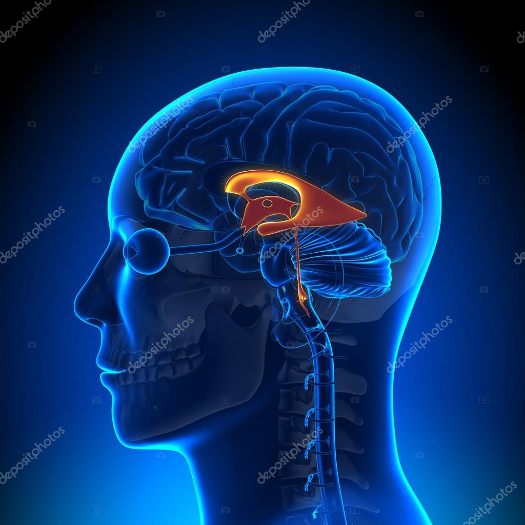 Brain Anatomy - Ventricles — Stock Photo © decade3d #28192535
