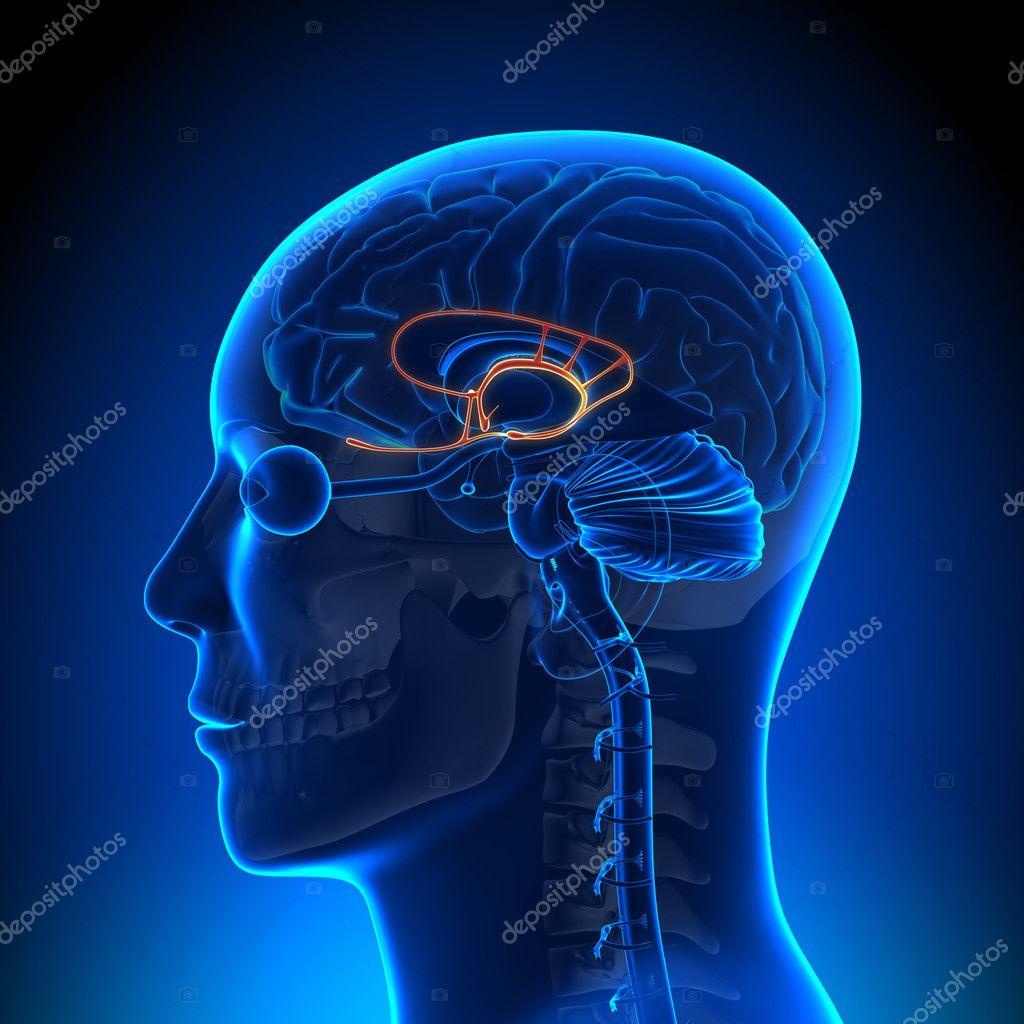 Gehirn Anatomie - limbischen system — Stockfoto © decade3d #28192549