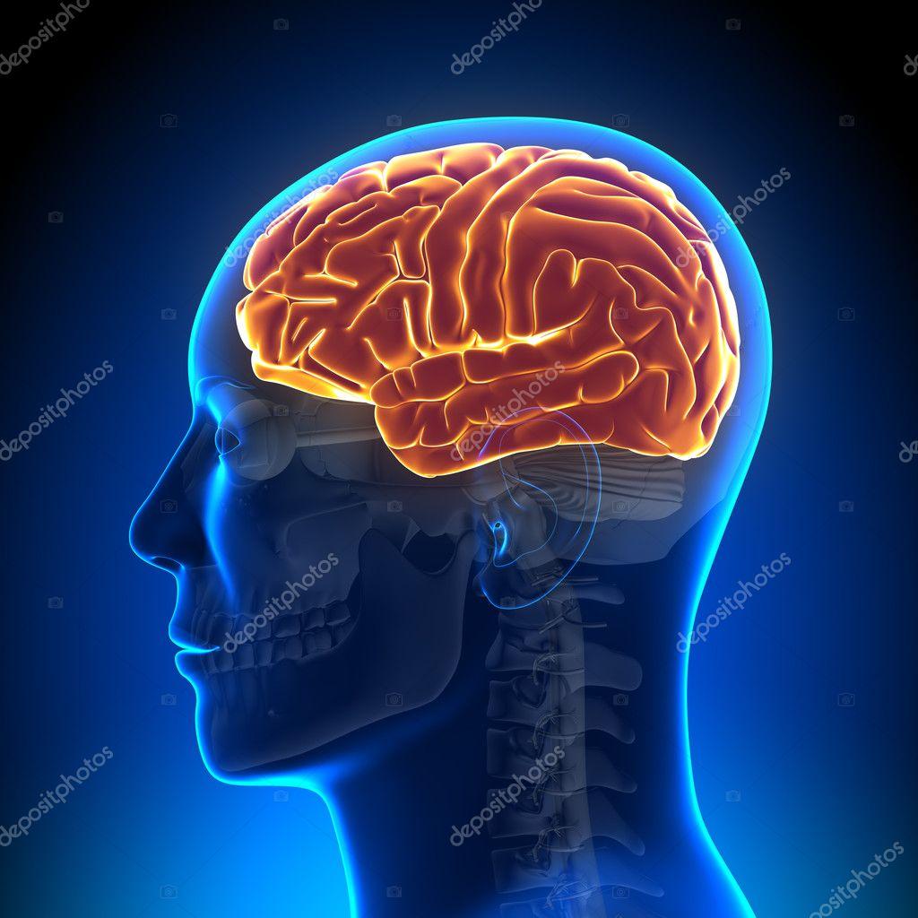 Anatomía del cerebro - cerebro completo — Foto de stock © decade3d ...