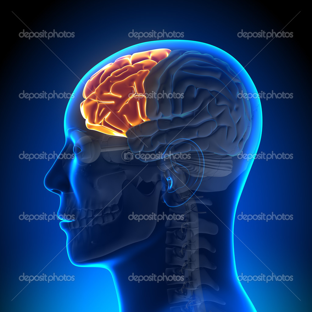 Gehirn Anatomie - Frontallappen — Stockfoto © decade3d #28192679