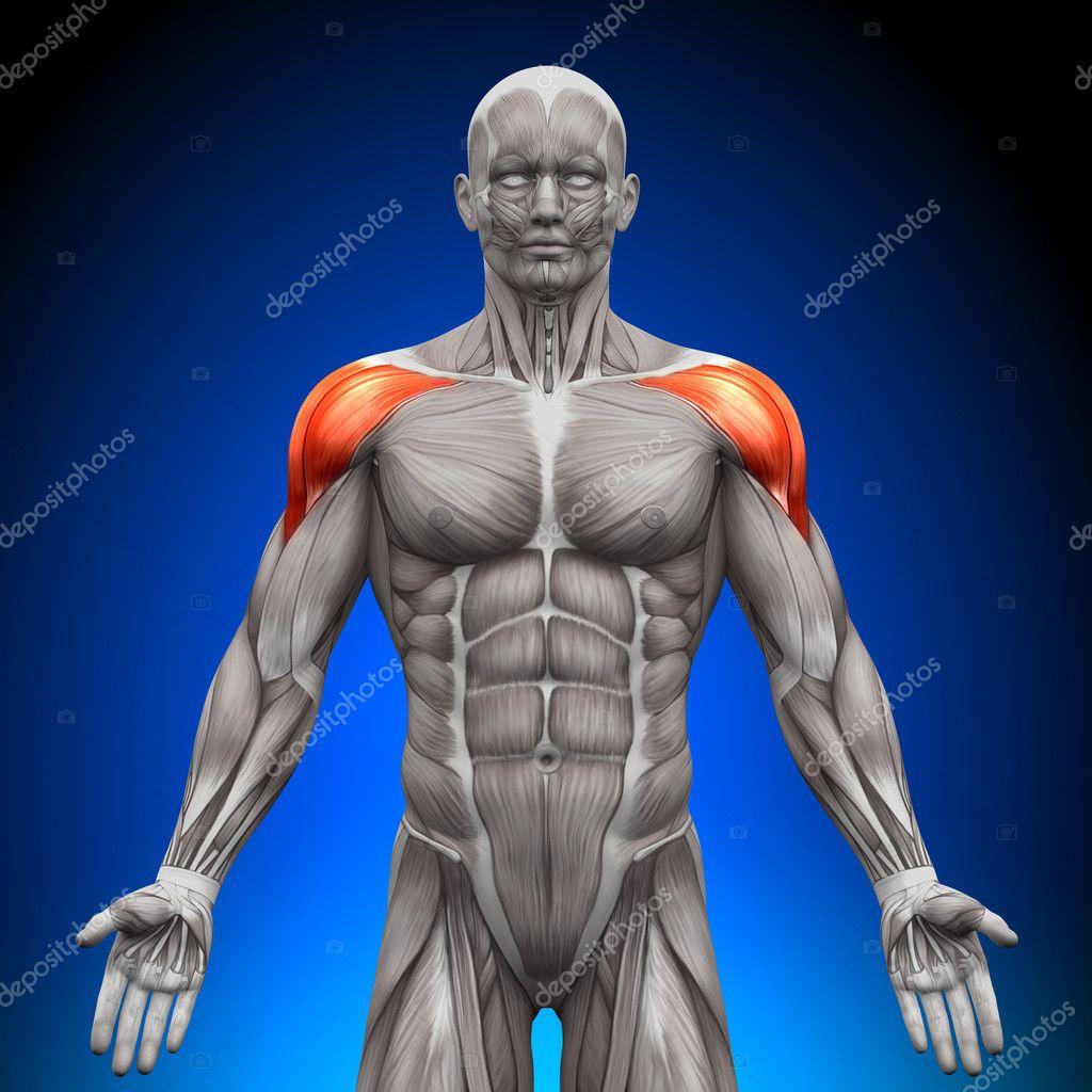 hombros deltoides - músculos anatomía — Fotos de Stock © decade3d ...