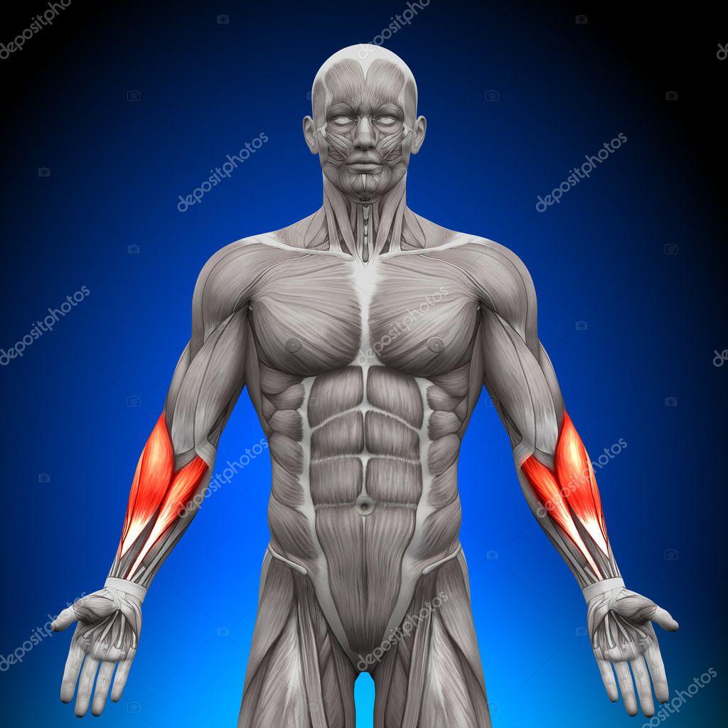 antebrazos - músculos anatomía — Fotos de Stock © decade3d #28192895