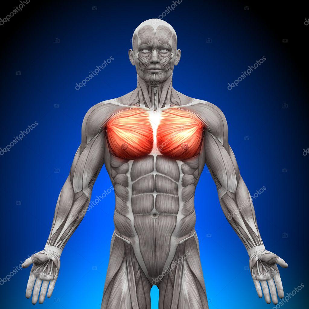 pecho del músculo pectoral mayor pectoral menor - músculos anatomía ...