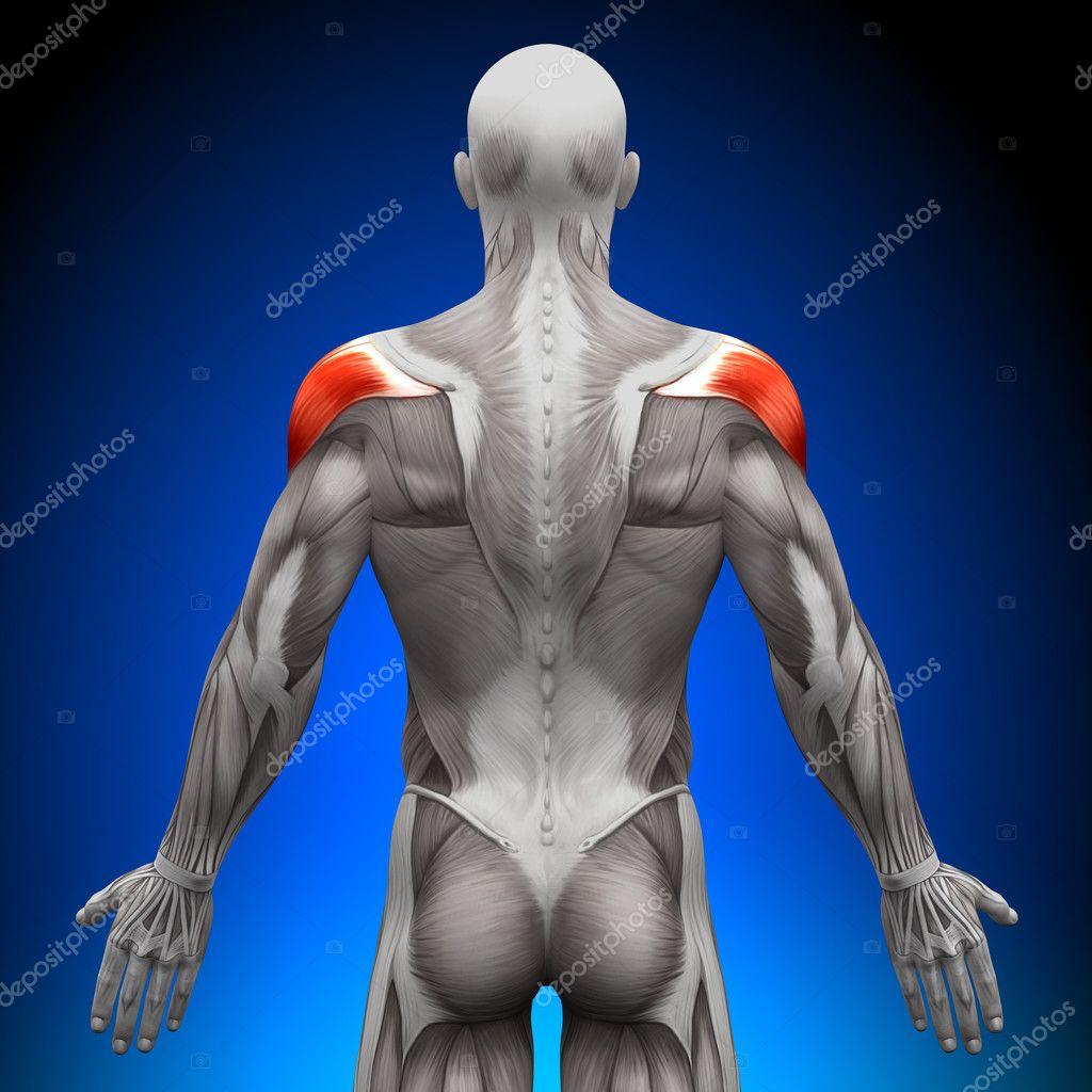 Schulter - Anatomie Muskeln — Stockfoto © decade3d #28192973
