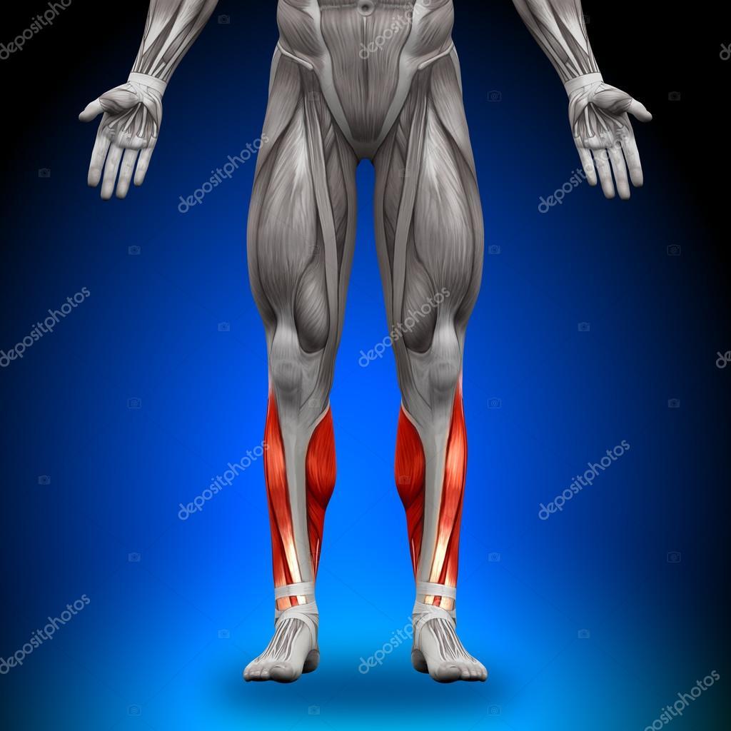 terneros - músculos anatomía — Foto de stock © decade3d #28192985