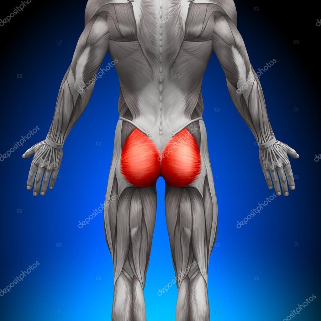 Gesäßmuskulatur Gluteus Maximus - Anatomie Muskeln — Stockfoto ...