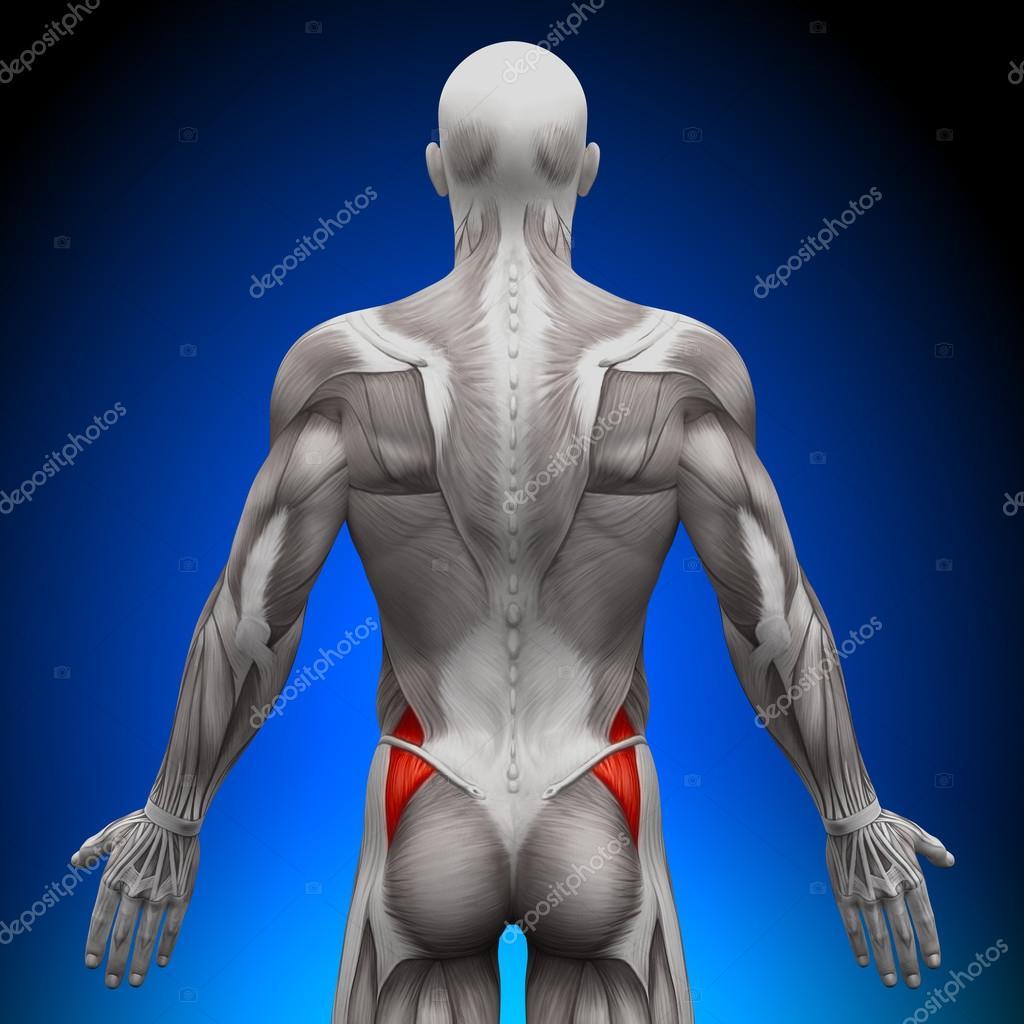 Glutes Medius - Anatomy Muscles — Stock Photo © decade3d #28193005