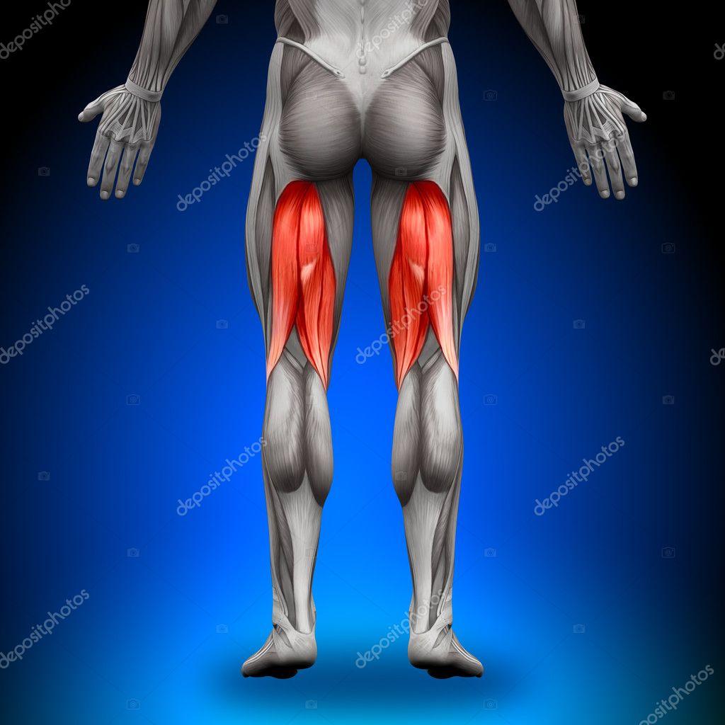 isquiotibiales - músculos anatomía — Foto de stock © decade3d #28193019