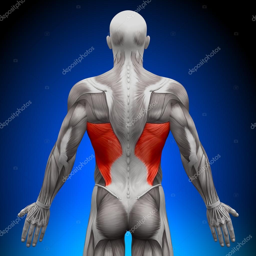 latissimus dorsi - músculos de la anatomía — Fotos de Stock ...