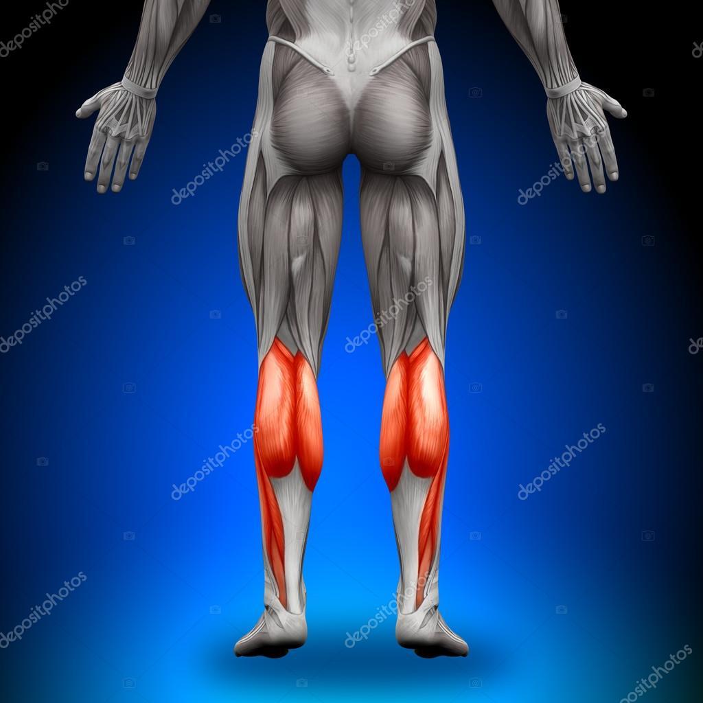 terneros - músculos anatomía — Foto de stock © decade3d #28193027