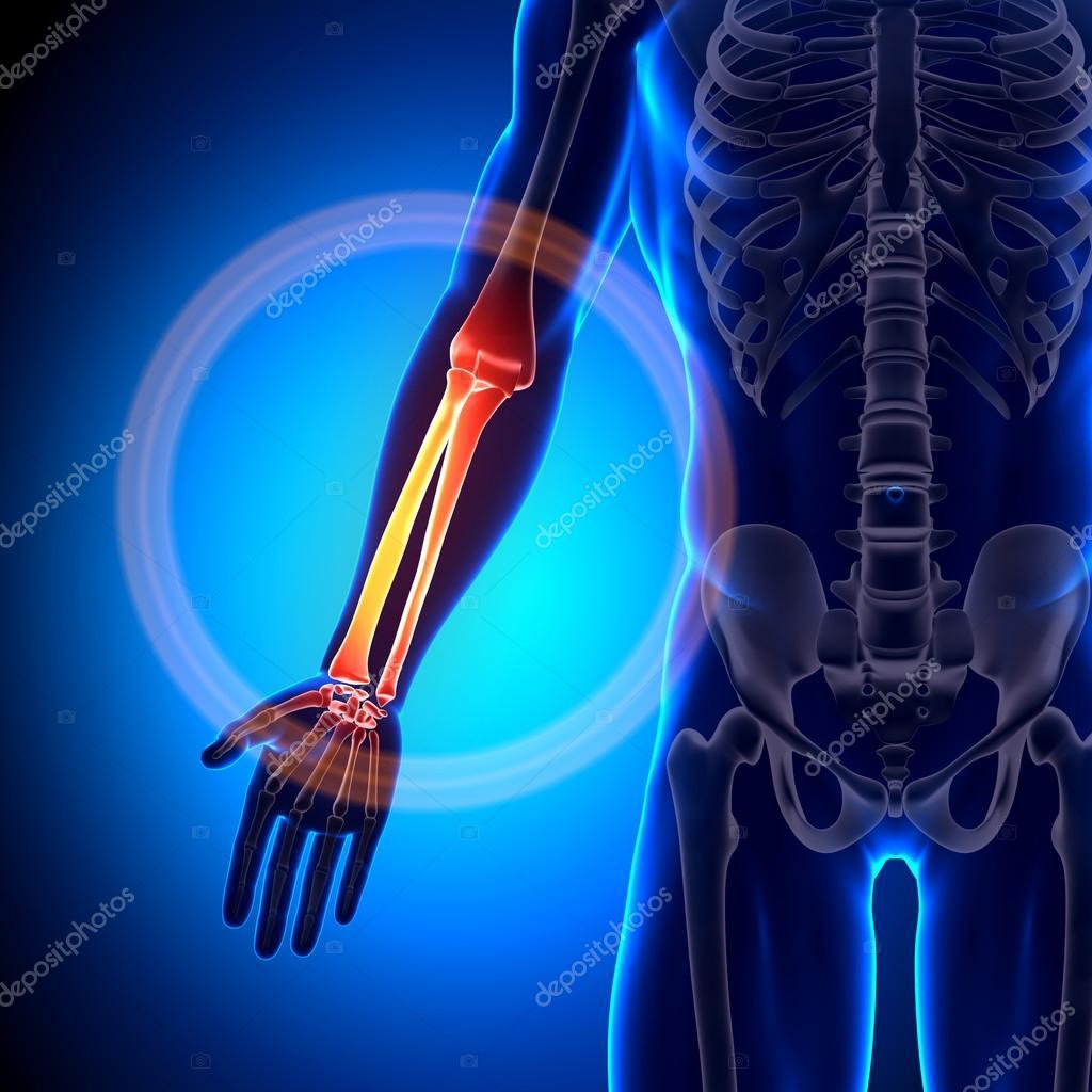 cúbito radio - huesos anatomía — Fotos de Stock © decade3d #28193089